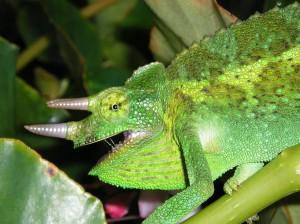 chameleon-582841_1280